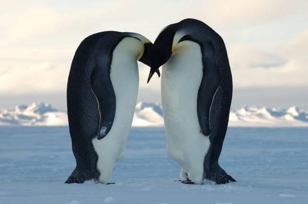 Антарктида. Природа Антарктиды. Пингвины Антарктиды фото